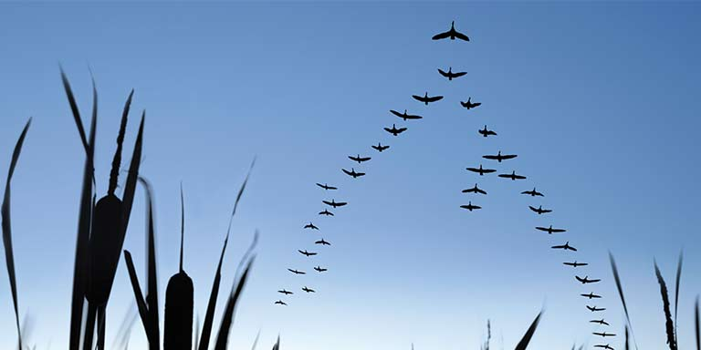 geese flying in a formation